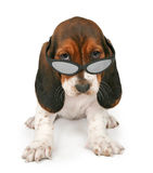Basset Hound Puppy Wearing Sunglasses. A cool six week old Basset Hound puppy wearing sunglasses and sitting against a white backdrop royalty free stock photos