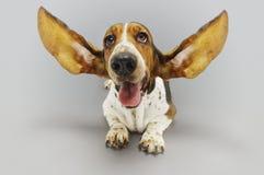 Basset Hound que se sienta con los oídos ampliados Imagenes de archivo