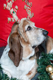 Basset Hound with reindeer antlers at Christmas Stock Photo