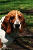 Basset Hound: Retrato de un perro Fotografía de archivo