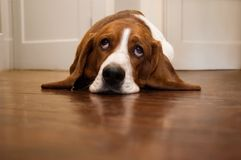 Basset hound rolling its eyes. In a humorous way royalty free stock image