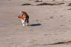 Basset Hound runs on the beach stock photo
