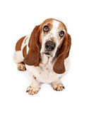 Basset Hound with sad eyes. Basset Hound dog looking up with sad eyes. Isolated on a white background royalty free stock images