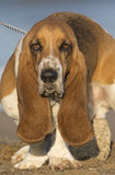 Basset Hound with Sad Eyes Royalty Free Stock Photo