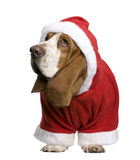 Basset hound in Santa coat, 2 years old Stock Photos