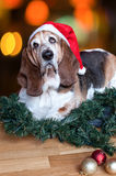 Basset Hound with santa hat at Christmas Royalty Free Stock Photo