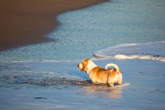 Basset hound by sea. One basset hound playing by the sea Stock Image