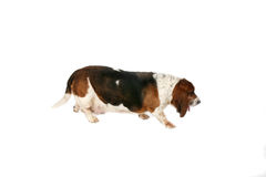 Basset hound side view Stock Images