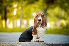 Basset hound sitting Stock Photos