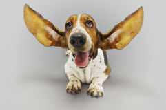 Basset Hound Sitting With Ears Extended Stock Images