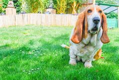 Basset hound sitting on green grass in a green garden background Royalty Free Stock Photos