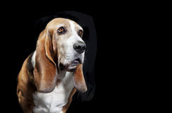 Basset hound black background. A basset hound sitting looking at camera, background black royalty free stock photos