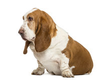 Basset Hound sitting and looking left Stock Photo