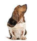 Basset Hound sitting and looking up. In front of a white background royalty free stock photos