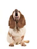 Basset hound sitting and looking up with its mouth open seen from the front. Isolated on a white background royalty free stock image