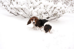 Basset hound in snow. Baby basset hound puppy in snow in Canada playing stock photos