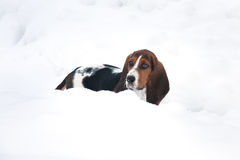 Basset hound in snow. Baby basset hound puppy in deep snow in a Canadian winter royalty free stock images