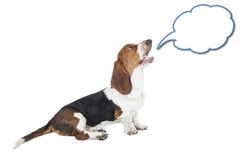 Basset hound speaks Royalty Free Stock Photography