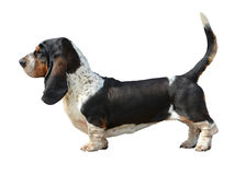 Basset Hound stand isolated royalty free stock image