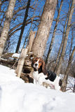 Basset hound in sunny snow Royalty Free Stock Photography
