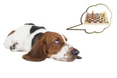 Basset hound thinks about chess stock photos