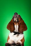 Basset Hound with tongue out. Basset Hound dog with tongue out and looking up at something royalty free stock photos