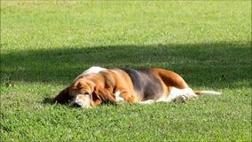 Basset Hound in tuin Stock Foto