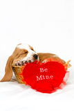 Basset hound Valentine. Basset hound puppy sleeping in a basket with a red be my valentine heart royalty free stock image