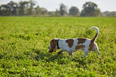 Basset-hound walks in the field Royalty Free Stock Photo