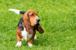 Basset Hound walks. The Basset Hound is on the grass in the park Royalty Free Stock Photo