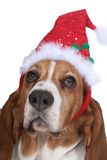 Basset Hound wearing a Santa hat. Basset Hound dog wearing a Santa hat for the holidays Stock Photos