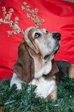 Basset Hound am Weihnachten Stockfoto