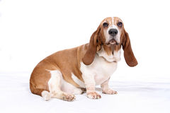 Basset hound on white Royalty Free Stock Image