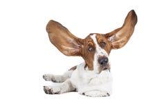Basset hound Stock Photography