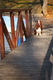 Basset hound on wooden bridge Stock Photo