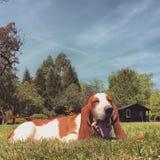 Basset Hound Yawning Countryside Grass Dog Puppy. Basset hound yawning in British countryside royalty free stock images