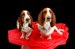 Basset hounds. Posing for the camera Royalty Free Stock Photos