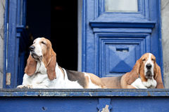 Basset hounds Stock Photo
