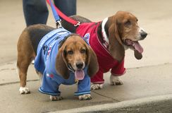 Basset hounds Royalty Free Stock Images