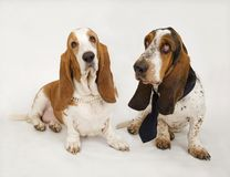 Basset Hounds Stock Image
