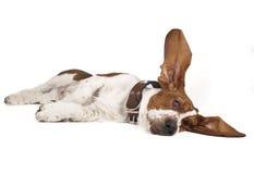Basset lifted ear Stock Image