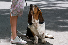 Basset and owner Stock Image
