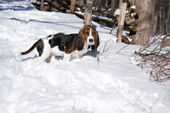 Basset pup snow Royalty Free Stock Photo