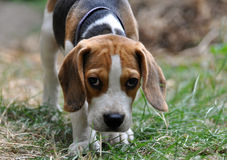Basset puppy Royalty Free Stock Images