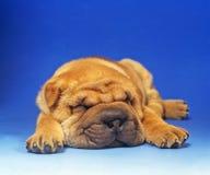 Basset puppy Stock Photos