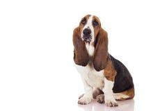 Basset puppy Stock Image