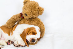 Basset puppy sleeps in teddy bears arms Royalty Free Stock Photos