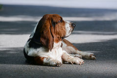 Basset on the street Stock Images