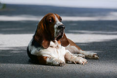 Basset on the street Royalty Free Stock Photography