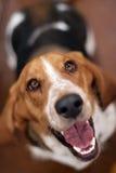Basset van de redding Hond die omhoog eruit ziet Royalty-vrije Stock Afbeeldingen